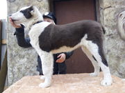 Щенки среднеазиатской овчарки VIP класса
