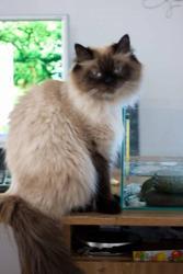 персидские  чистокровные котята